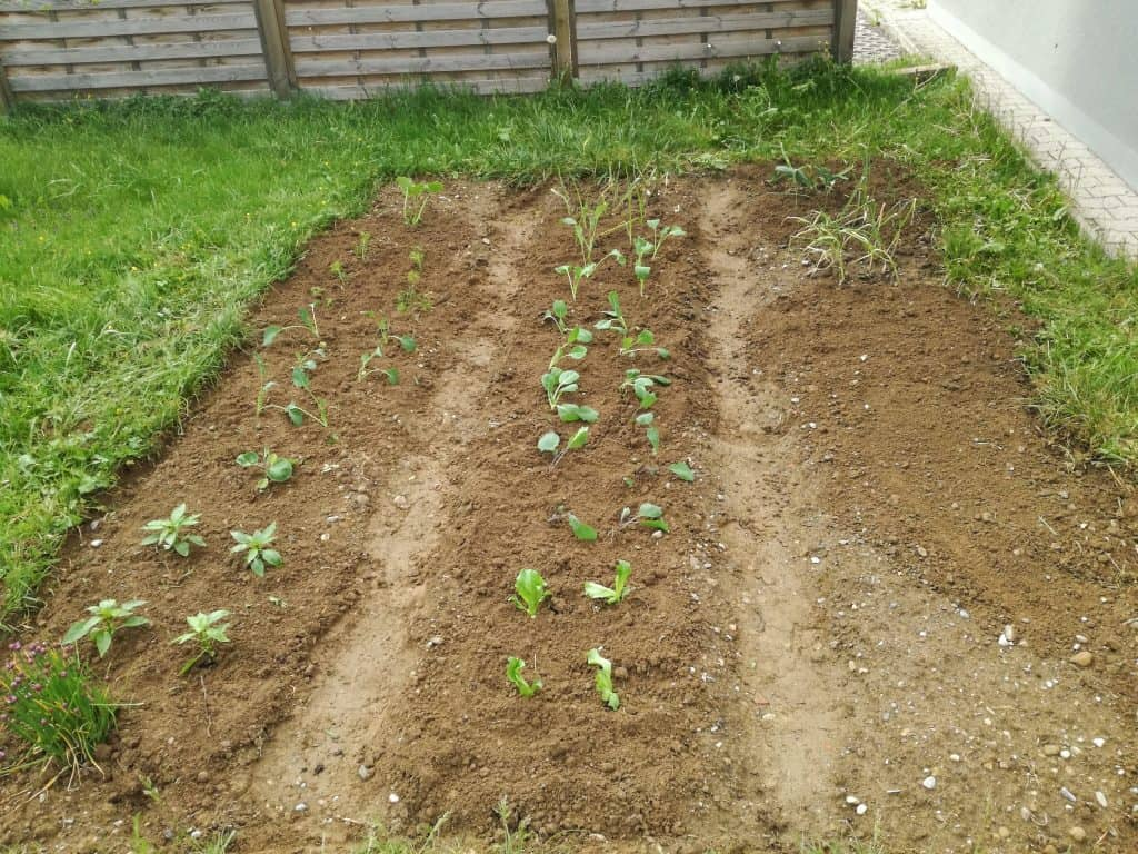 Our freshly planted vegetable garden